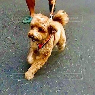 散歩中に走り出す犬の写真・画像素材[4009531]