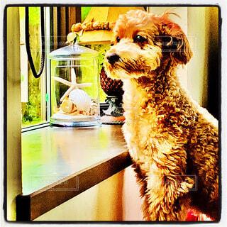 外を見つめる犬の写真・画像素材[4009542]