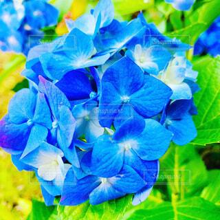鮮やかなブルーの紫陽花の写真・画像素材[4009547]
