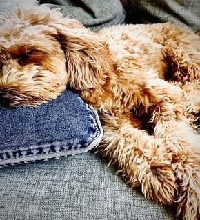 犬,動物,屋内,植物,茶色,ペット,クッション,ソファー,ソファ,お昼寝,ベージュ,ブラウン,愛犬,デニム,キャメル,もこもこ,まるぷー