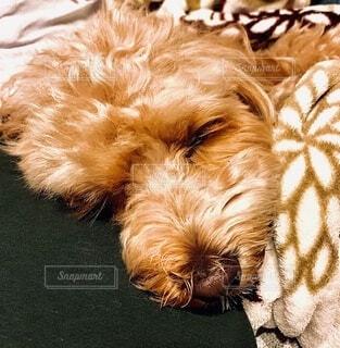 犬,動物,屋内,茶色,ペット,寝顔,クッション,ソファー,ソファ,枕,お昼寝,ベージュ,ブラウン,愛犬,おやすみ,キャメル,もこもこ,まるぷー