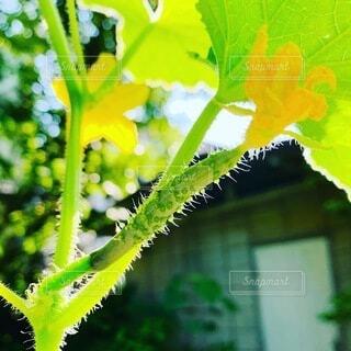 自然,花,緑,フラワー,黄色,葉,野菜,樹木,眩しい,キュウリ,イエロー,グリーン,家庭菜園,成長,nature,草木,胡瓜
