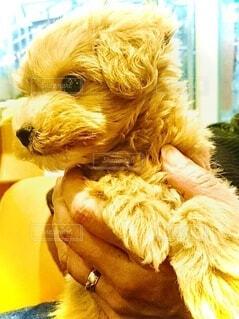 犬,動物,屋内,茶色,ペット,小さい,ソファ,子犬,抱っこ,ベージュ,ブラウン,愛犬,キャメル,もこもこ,まるぷー