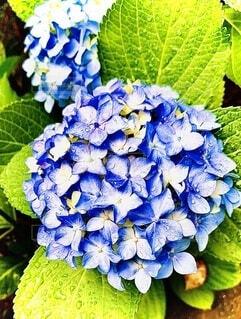 自然,花,緑,青,フラワー,葉,鮮やか,紫陽花,ブルー,雨上がり,雫,グリーン,nature,草木,アジサイ,ガーデン,ブルーグリーン,フローラ