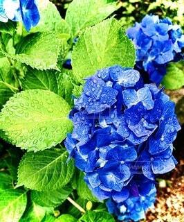 自然,緑,青,フラワー,葉,鮮やか,紫陽花,ブルー,雨上がり,雫,グリーン,nature,草木,アジサイ,ガーデン,ブルーグリーン,フローラ