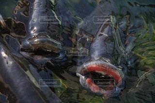 迫りくるぷっくりとした唇の鯉の写真・画像素材[4004216]