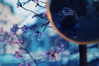 花,桜,屋外,ピンク,青,夕暮れ,夕方,反射,ぼかし,樹木,ミラー,シュール,一眼レフ,河津桜,カーブミラー,セルフポートレート