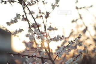 空,花,太陽,梅,綺麗,夕暮れ,枝,景色,ぼかし,逆光,寒い,暖かい,おしゃれ,2月