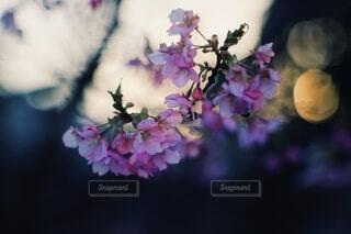 花,桜,屋外,ピンク,白,青,夕暮れ,枝,夕方,景色,ぼかし,河津桜,オールドレンズ,草木,ブルーム,ブロッサム