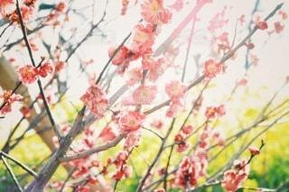花,春,ピンク,太陽,赤,かわいい,梅,綺麗,枝,黄色,菜の花,樹木,逆光,雰囲気,オールドレンズ,草木,ゴースト,おしゃれ,2月