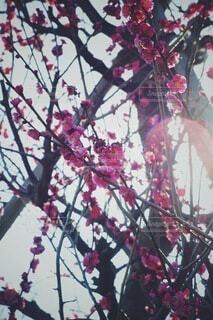 花,春,太陽,赤,梅,綺麗,枝,景色,逆光,雰囲気,オールドレンズ,草木,ゴースト,おしゃれ,2月