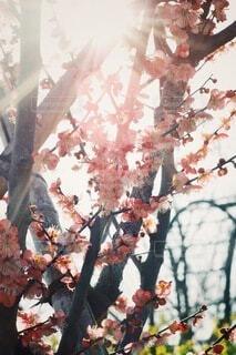 春,ピンク,太陽,梅,幻想的,景色,樹木,逆光,オールドレンズ,草木,おしゃれ,2月