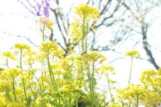 自然,空,花,屋外,かわいい,黄色,幻想的,葉,菜の花,夕方,景色,樹木,蜂,寒い,明るい,ミツバチ,オールドレンズ,草木,おしゃれ,2月