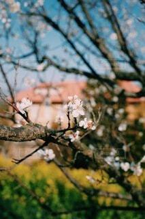 風景,建物,花,春,屋外,ピンク,白,梅,綺麗,青,枝,黄色,菜の花,ぼかし,背景,樹木,暖かい,雰囲気,草木,おしゃれ,ブロッサム