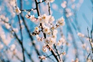空,花,白,かわいい,梅,綺麗,ぼかし,樹木,暖かい,晴,雰囲気,草木,おしゃれ,2月