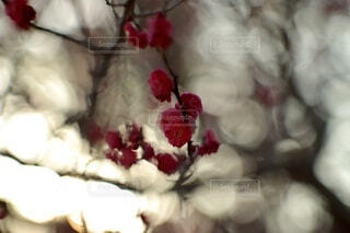 風景,花,春,赤,梅,綺麗,枝,幻想的,ぼかし,背景,暖かい,雰囲気,小田原,オールドレンズ,草木,おしゃれ,2月