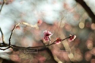 風景,花,春,梅,綺麗,枝,幻想的,ぼかし,背景,暖かい,雰囲気,小田原,オールドレンズ,草木,おしゃれ,2月