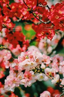 ボケって名前の花の写真・画像素材[4275506]