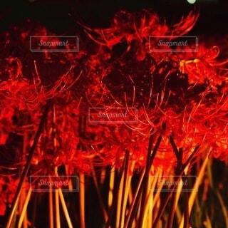 燃えるような彼岸花の写真・画像素材[4183409]