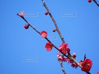 空,花,屋外,赤,梅の花,草木,春の訪れ