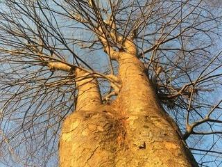 夕暮れ,枯れ木,夕方,樹木,冬空,木立ち,夕陽と大樹