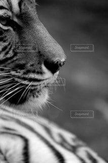 虎のクローズアップの写真・画像素材[4007694]