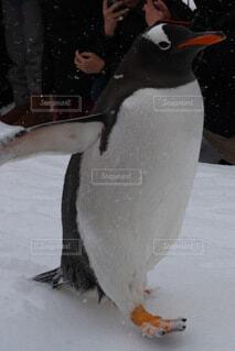 ペンギンの行進の写真・画像素材[4139699]