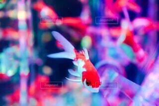 動物,魚,水族館,葉,ぼかし,ライトアップ,玉ボケ,金魚,海洋無脊椎動物