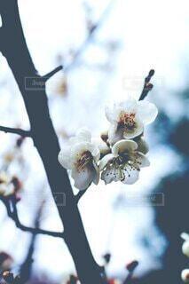 空,花,春,青,枝,樹木,草木,桜の花,さくら,ブルーム,ブロッサム,ぼやける
