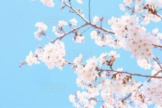空,花,春,桜,屋外,ピンク,青空,青,飛行機,水色,樹木,煙,空気,草木,桜の花,さくら,ブロッサム