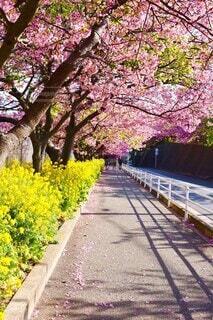 桜並木の写真・画像素材[4212792]