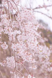 枝垂れ桜の写真・画像素材[4271225]