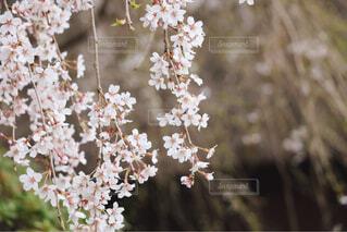 枝垂れ桜の写真・画像素材[4271232]