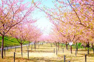 桜並木の写真・画像素材[4271236]