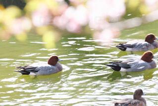 鴨の写真・画像素材[4271264]