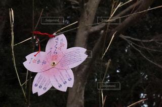 桜のおみくじの写真・画像素材[4312018]