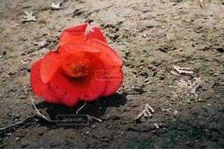 落ちた花の写真・画像素材[4312022]