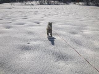 犬,自然,冬,動物,雪,屋外,かわいい,散歩,冬景色,柴犬,愛犬,冷たい,白柴
