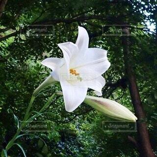自然,花,白,樹木,百合,草木,ユリ,自生,有馬温泉,美しく,麗しい,凛と,聖母マリアの花