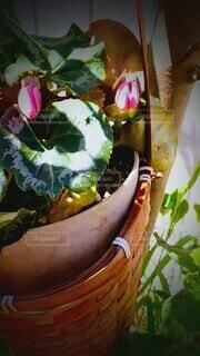 花,夏,ピンク,緑,葉っぱ,かご,昼,鉢,揺れる
