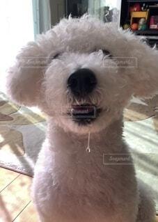 犬のヨダレの写真・画像素材[4119611]