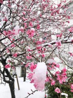 桜に積もる雪の写真・画像素材[4138936]