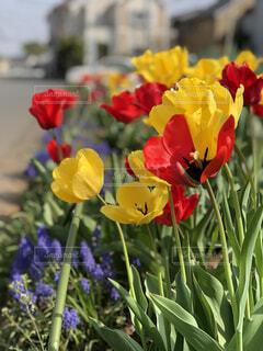 花,春,屋外,赤,紫,黄色,景色,チューリップ,花壇,カラー,ムスカリ,草木,ブルーム,フローラ,2色咲き,二色咲き