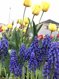 花,春,屋外,赤,紫,黄色,景色,チューリップ,花壇,カラー,ムスカリ,草木,ブルーム,フローラ