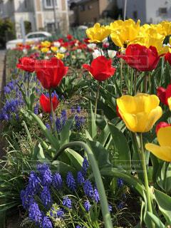 花,春,屋外,赤,紫,黄色,景色,チューリップ,花壇,住宅街,カラー,ムスカリ,草木,ブルーム,フローラ