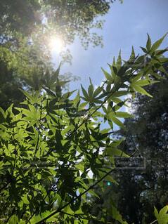空,紅葉,屋外,太陽,緑,植物,青空,葉,もみじ,日差し,光,樹木,新緑,若葉,青紅葉,青もみじ,草木,緑もみじ