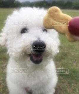 犬,動物,芝生,屋外,白,かわいい,散歩,草,おやつ,外,笑顔,子犬,プードル,トイプードル,ビスケット,骨,待て,ニコニコ