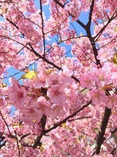 空,花,春,ピンク,樹木,草木,桜の花,さくら,ブルーム,ブロッサム
