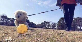 散歩中にボール遊びをする犬の写真・画像素材[4220931]