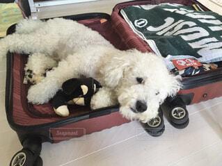 スーツケースの上で寝る犬の写真・画像素材[4244278]